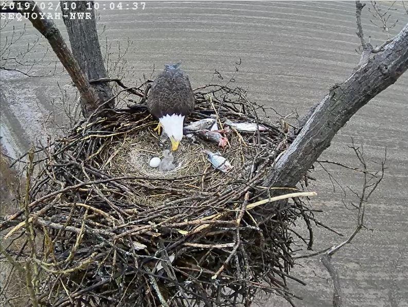 Live Bald Eagle Nest Camera – Sutton Center